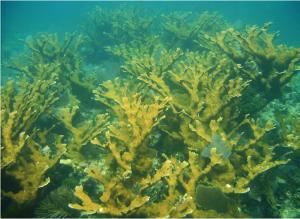 Acropora palmata (Elkhorn Coral). Photo by William F. Precht