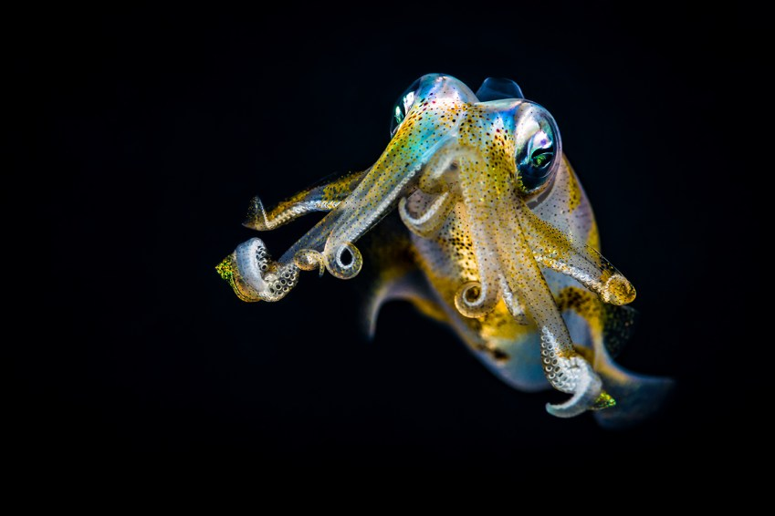 Cephalopods like this bigfin reef squid are helping researchers understand the human nervous system. Photo iStock