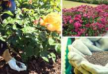 como hacer abono para rosas