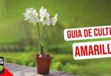 Guia de Cultivo de Amarillys. Como cuidarlas y como hacer que vuelvan a florecer #huerto #huertourbano