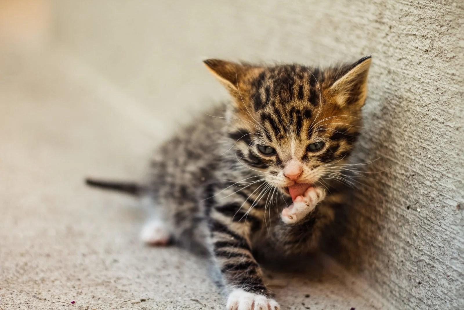 Cómo bañar a un gato (sin que te arañe)