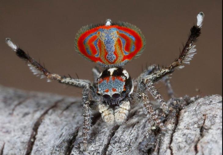 Esta araña debe su nombre a que en la cola desplegada parece tener la figura de un elefante