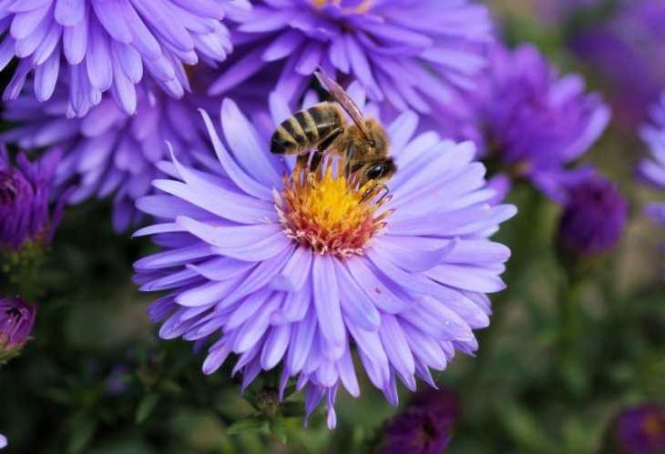 Abeja recolectando el nectar de una flor