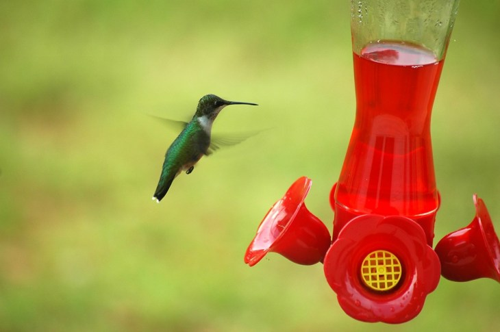 El aleteo de un colibrí puede alcanzar de 80 a 200 veces por segundo