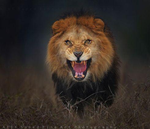 lion 2 atif saeed fine art photography