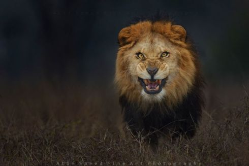 lion atif saeed fine art photography