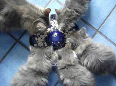 Blue-Lynx-Cucciolata-F