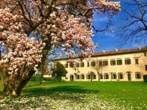Palazzo Barbò e la magnolia fiorita