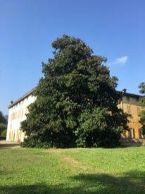 Magnolia di Villa Grismondi Finardi