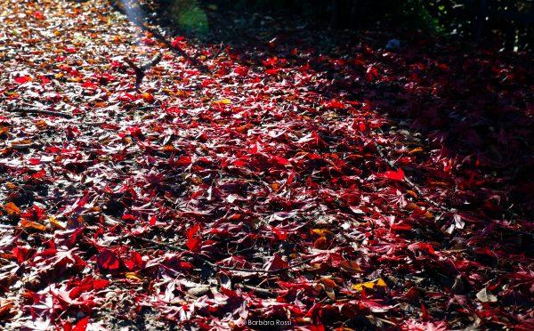 Foliage rosso