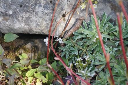 Bocche di aria fredda e sassifraga fiorita