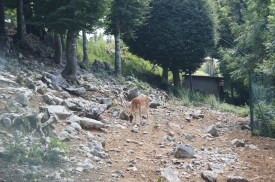 Daino nel recinto del Rifugio Monte Poieto