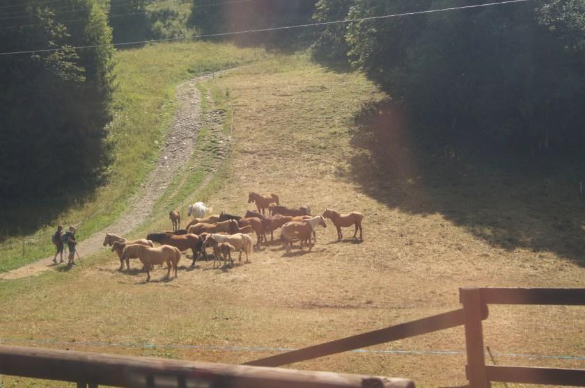 Cavalli al pascolo lungo il sentiero che porta al Poieto.JPG