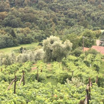 Olivi secolari a Il Castelletto
