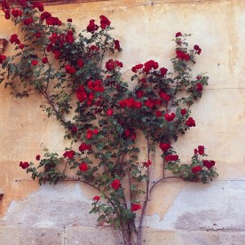 Rose rampicanti a Villa Astori