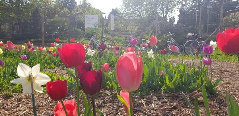 Tulipania e tulipani