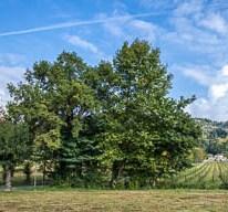 Alberi secolari nella Valle d'Astino