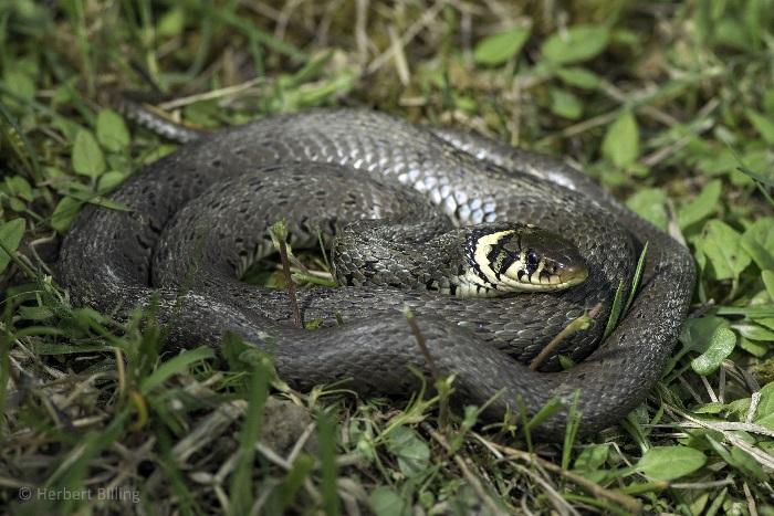 Serpente innocuo natrice dal collare