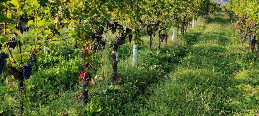 Vigna della azienda agricola Angelo Pecis di San Paolo d Argon