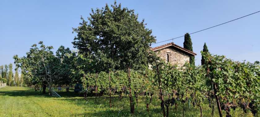 Vigna azienda agricola Angelo Pecis e chiesa San Pietro delle Passere