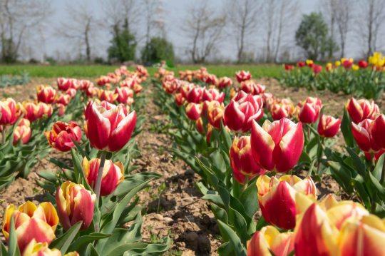 Quindicipertiche tulipani arancioni a Treviglio