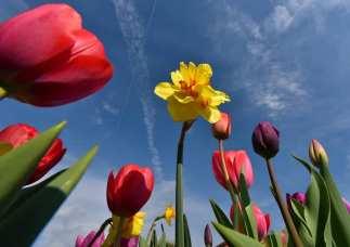 tulipania Terno d'Isola