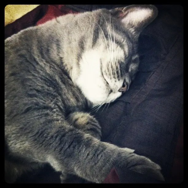 A grey, sleeping cat. On taking pets to Australia.