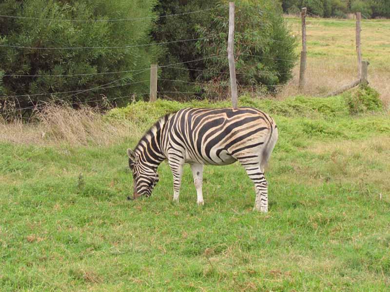 A zebra at Werribee Zoo.