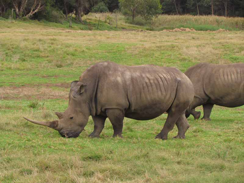 Rhinos at at Werribee Zoo.
