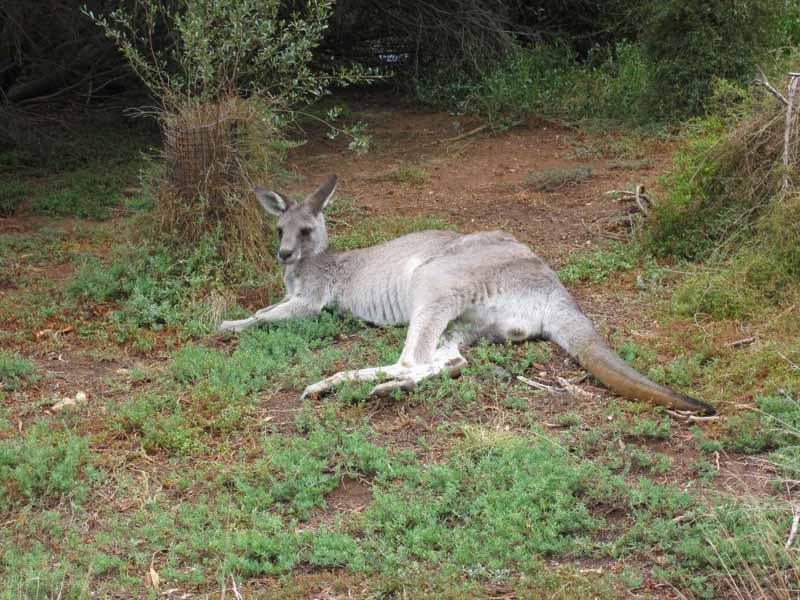 A kangaroo at Werribee Zoo.