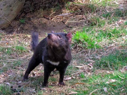A Tasmanian devil at Bonorong Wildlife Sanctuary.