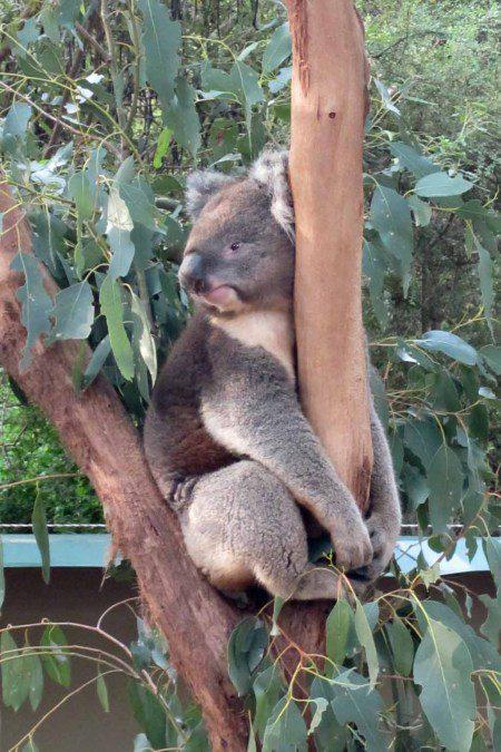 A koala resting in a tree.