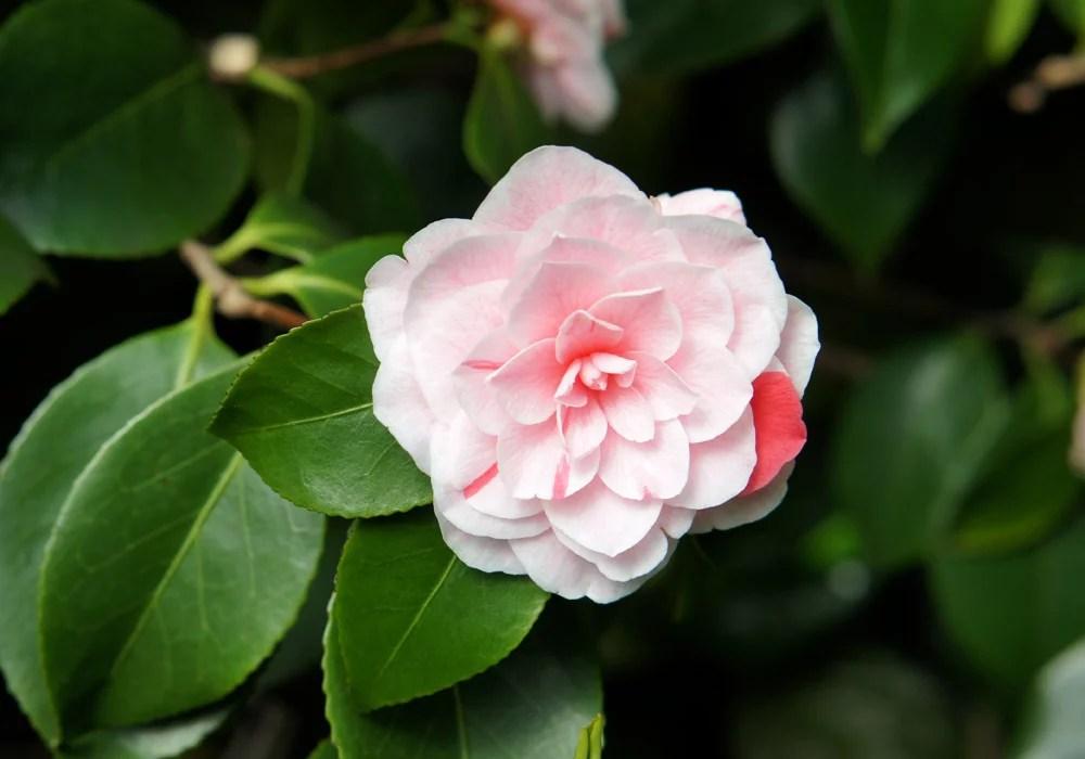 Camellia Japonica Bonomania