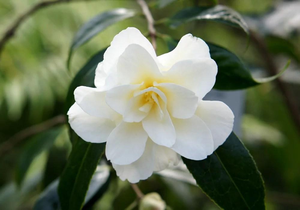 Camellia Japonica Kinomoto 95