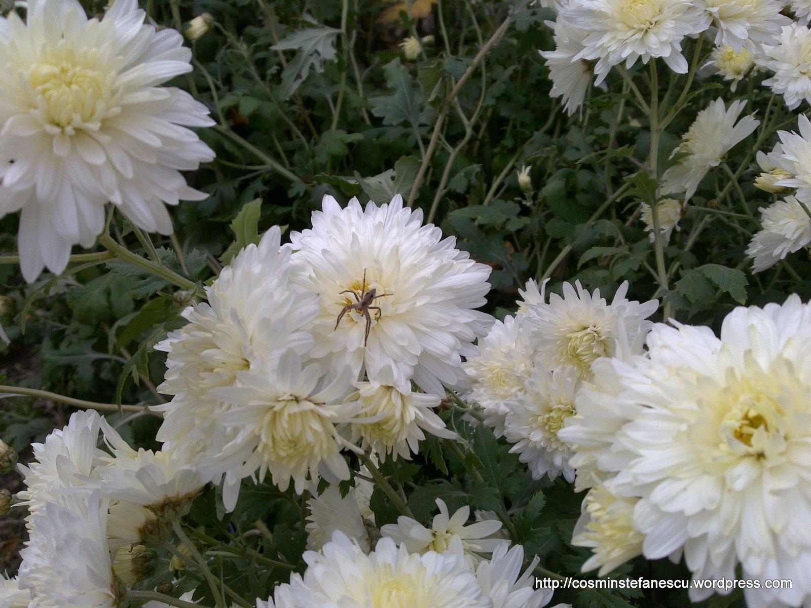 Tufănele albe şi un păianjen
