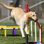 Dog performing agility tasks at a dog sports competition
