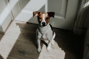 Energía positiva Jack Russell Terrier