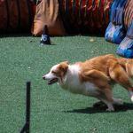 dog agility - Dog sports