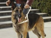 GSD Guide Dog