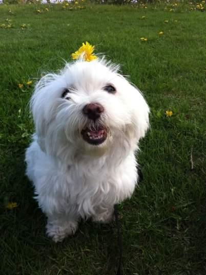 Maltese dog smiling -Emma Cosmdoggyland.com