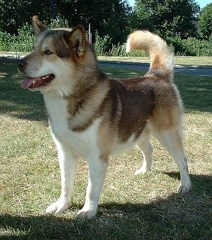 300px-Greenland_Dog