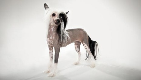Chinese Crested animalpanet.com