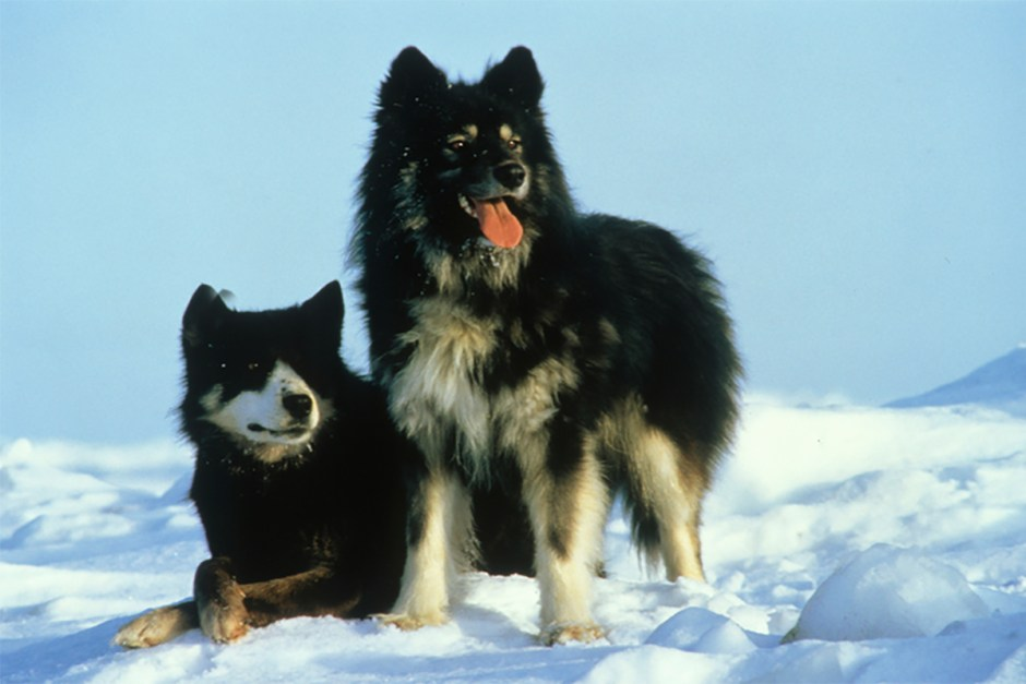 karafuto_dogs sakhalin husky jp.rbth.com.jpg