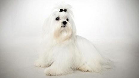 Bichon Maltese animalplanet.com