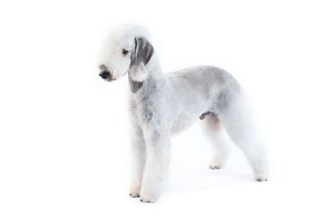 Bedlington Terrier purina.com