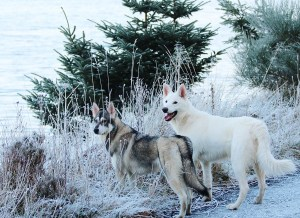 15 Best Sled Dog Breeds - Part I