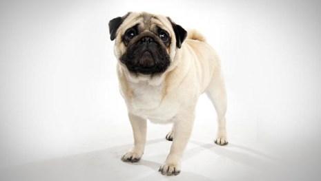 Pug animalplanet.com