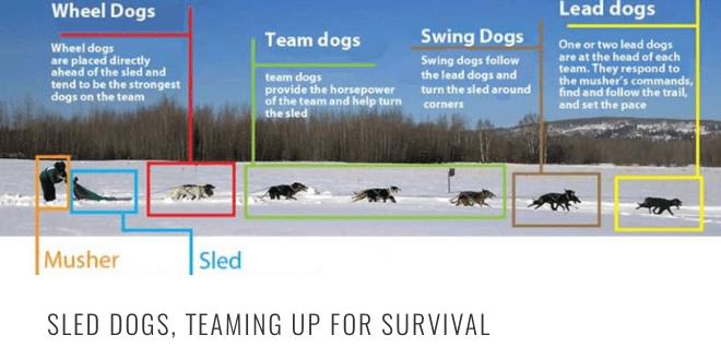 sled dog teaming HEADER