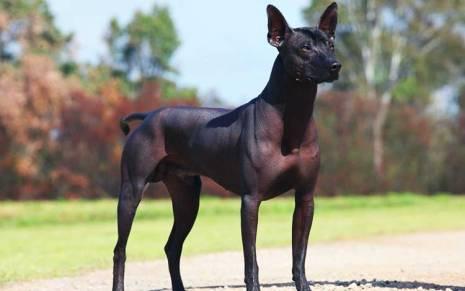 Xoloitzcuintli primitivedogs.com