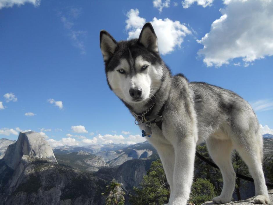 wikipedia : Kazisdaman, Siberian Husky with Blue Eyes, CC BY-SA 3.0